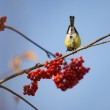 Titmouse and rowan — Stock Photo #1308720