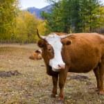 Cow on a mountain pasture — Stock Photo #1309168