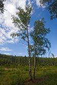 Two birches — Stock Photo