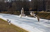 Seagulls in flight — Stock Photo