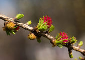 Spring larch — Stock Photo