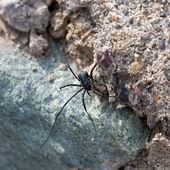Черный паук — Стоковое фото