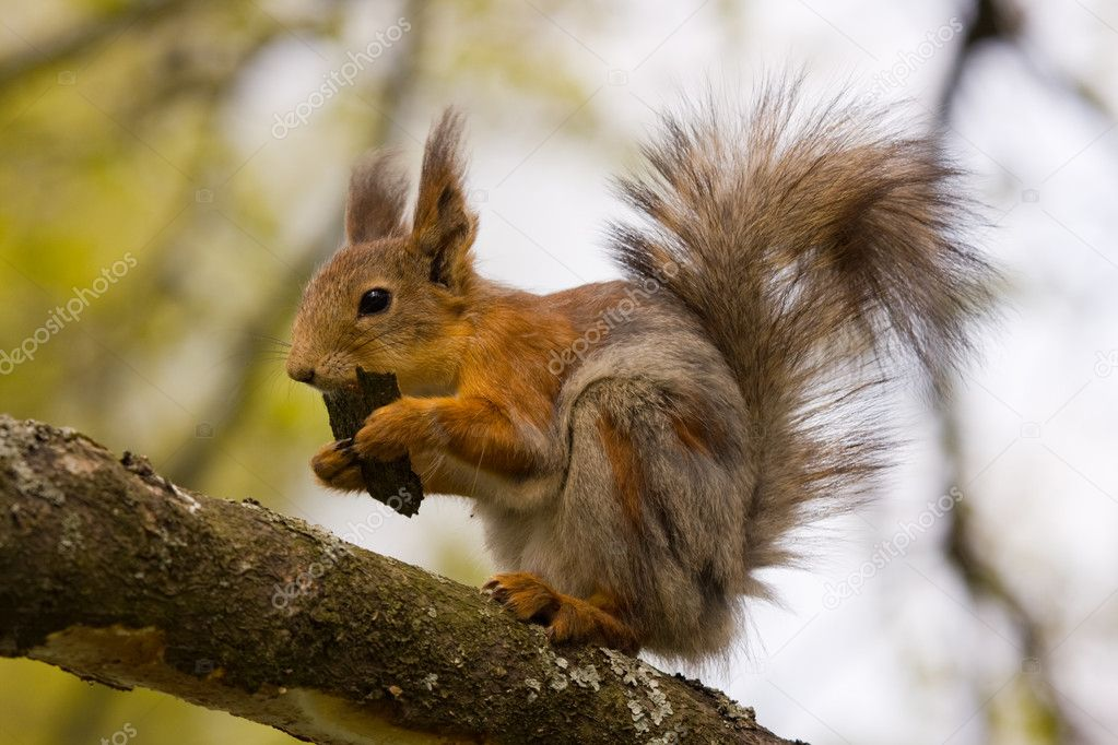 The squirrel on a tree eats bark   — Stock Photo #1307802