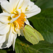 Stock Photo: Butterfly on dahlia