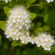 Stock Photo: Bird cherry tree blooms