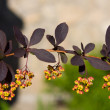 Barberry close-up — Stock Photo