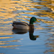 Duck on gold water — Stock Photo