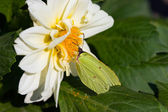 Butterfly on dahlia — Stock Photo