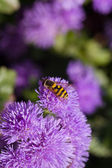 Striped fly on light violet fluffy flower in sunlight — Stock Photo