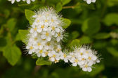Bird cherry tree blooms — Stock Photo
