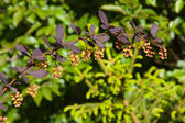 Spring barberry — Stock Photo