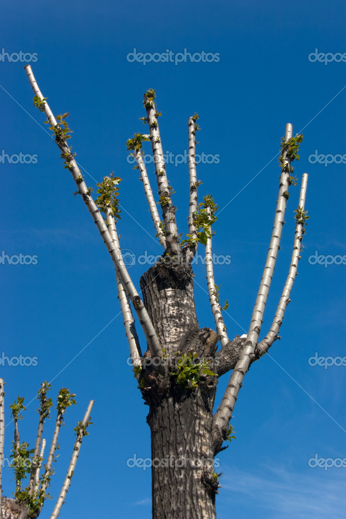 Spring: tree with cut branches turns green against clear sky — Stock Photo #1324740