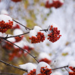 Stock Photo: Mountain ash in winter