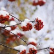 Mountain ash in winter - Stock Photo