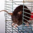 Rat in a cage — Stock Photo