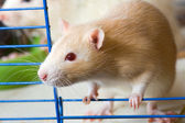 Small red rat — Stock Photo