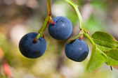 Berries of a bilberry — Stock Photo
