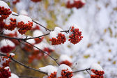 Mountain ash in winter — Stock Photo