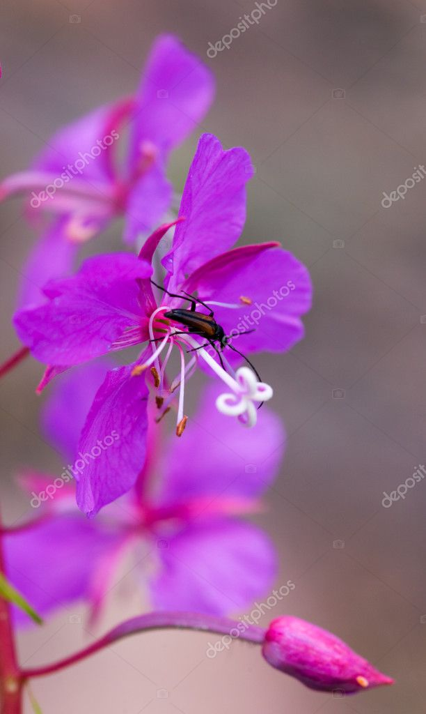 The bug on a flower willow-herb close up — Stock Photo #1333657