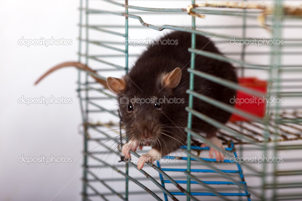 Black domestic rat in a cage close up — Stock Photo #1334240