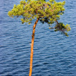 Tree above lake — Stock Photo