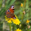 Butterfly and dandelions - Stockfoto