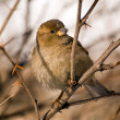Stock Photo: Sparrow on branch