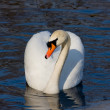 Swimming swan - Stockfoto
