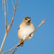 Sparrow on a branch — Stock Photo #1345246