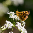 Butterfly on a white flower - Foto Stock