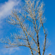 Stock Photo: Winter poplars
