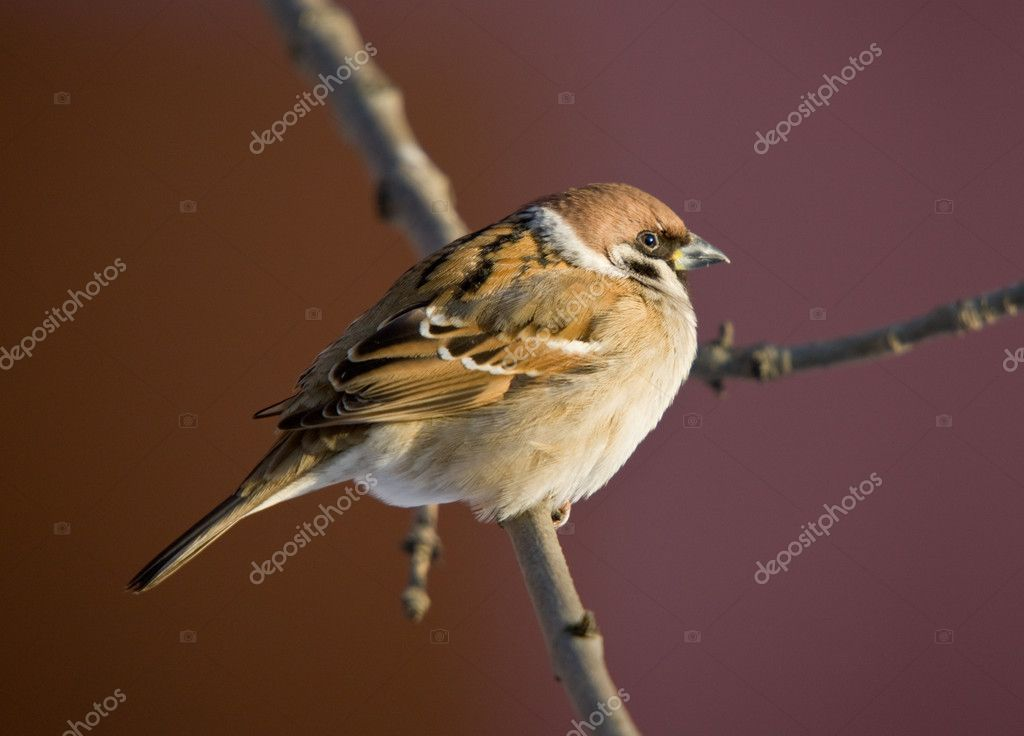 Portrait of a sparrow on a tree branch  Stock Photo #2479989
