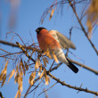Bullfinch — Stock Photo #2480021