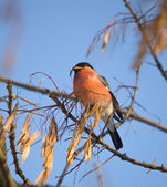 The bullfinch — Stock Photo