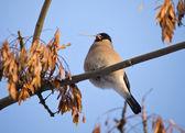The bullfinch (female) — Stock Photo