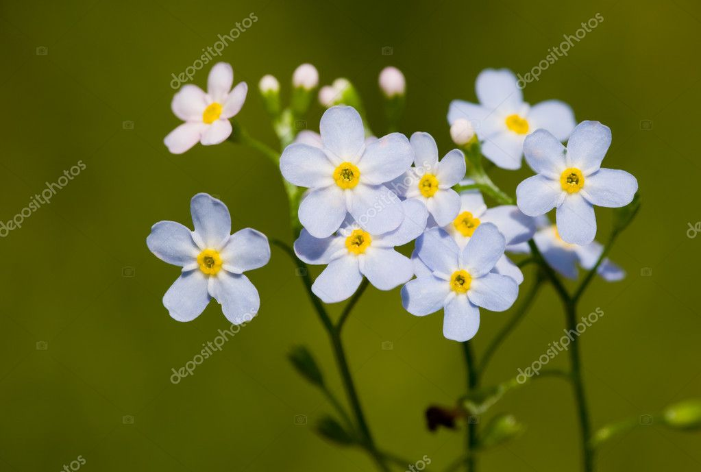 Flowers of a forget-me-not close up on a green background — Stock Photo #2536609