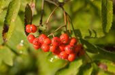 Branch of a rowan-tree — Stock Photo