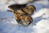 Sparrows on snow — Stock Photo