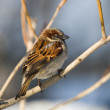 Sparrow on a branch — Stock Photo #2646995