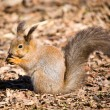 Stock Photo: Squirrel with a nut