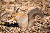 Squirrel with a nut — Stok fotoğraf