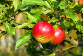 Red apple on branch with green leaf — Stock Photo