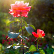 Stock Photo: Brightly pink roses across from sunlight