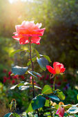 Brightly pink roses across from sunlight — Stock Photo