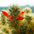 Blossoming cactus — Stock Photo