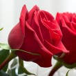 Brightly red roses — Stock Photo