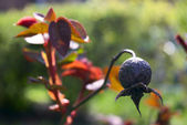 Fruit of drying up wild rose on a branch — Stock Photo