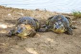 Two Fat Crocodile — Stock Photo