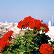 Flowers of a geranium and greek town - Stock Photo