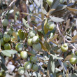 Olives on a tree — Stock Photo